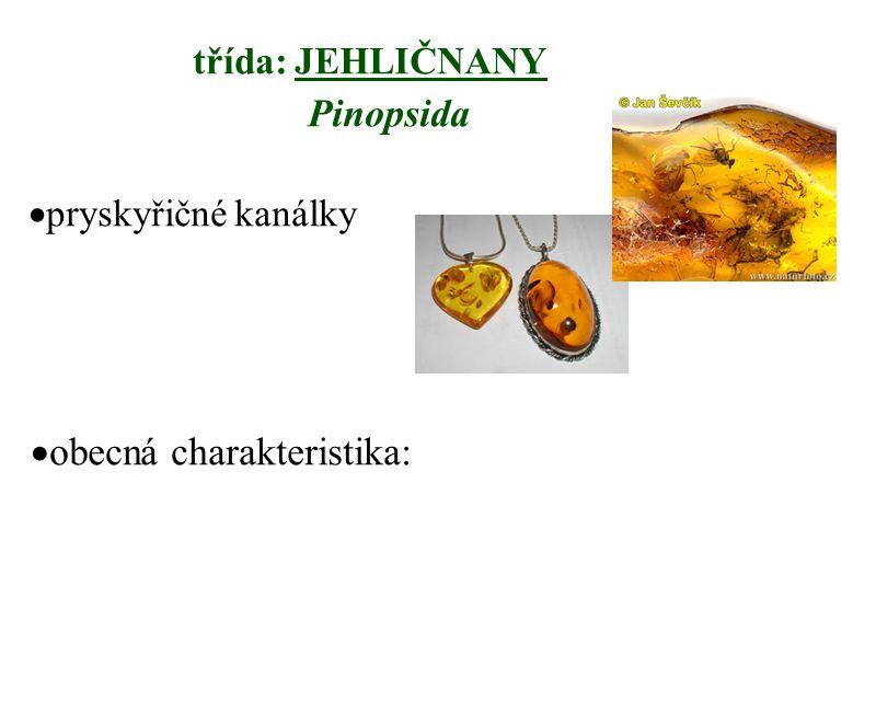třída: JEHLIČNANY Pinopsida  pryskyřičné kanálky  obecná charakteristika:
