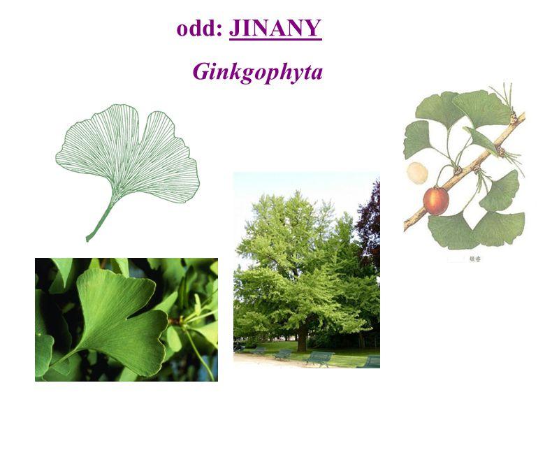 odd: PINOFYTY Pinophyta  výskyt už v karbonu  na které polokouli jsou převážně rozšířeny.