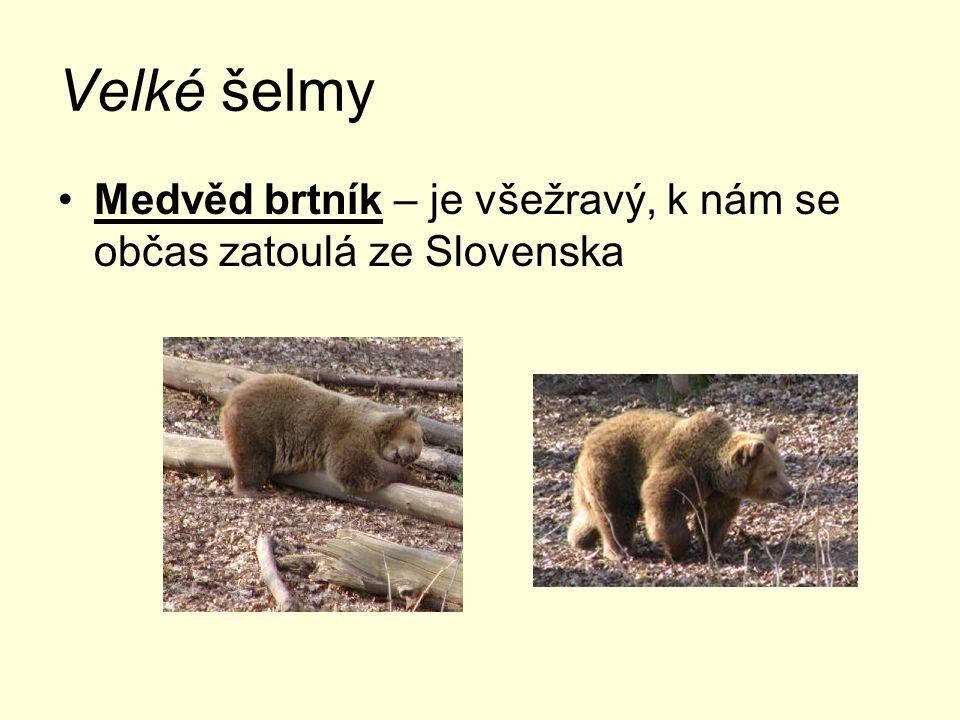 Velké šelmy Medvěd brtník – je všežravý, k nám se občas zatoulá ze Slovenska