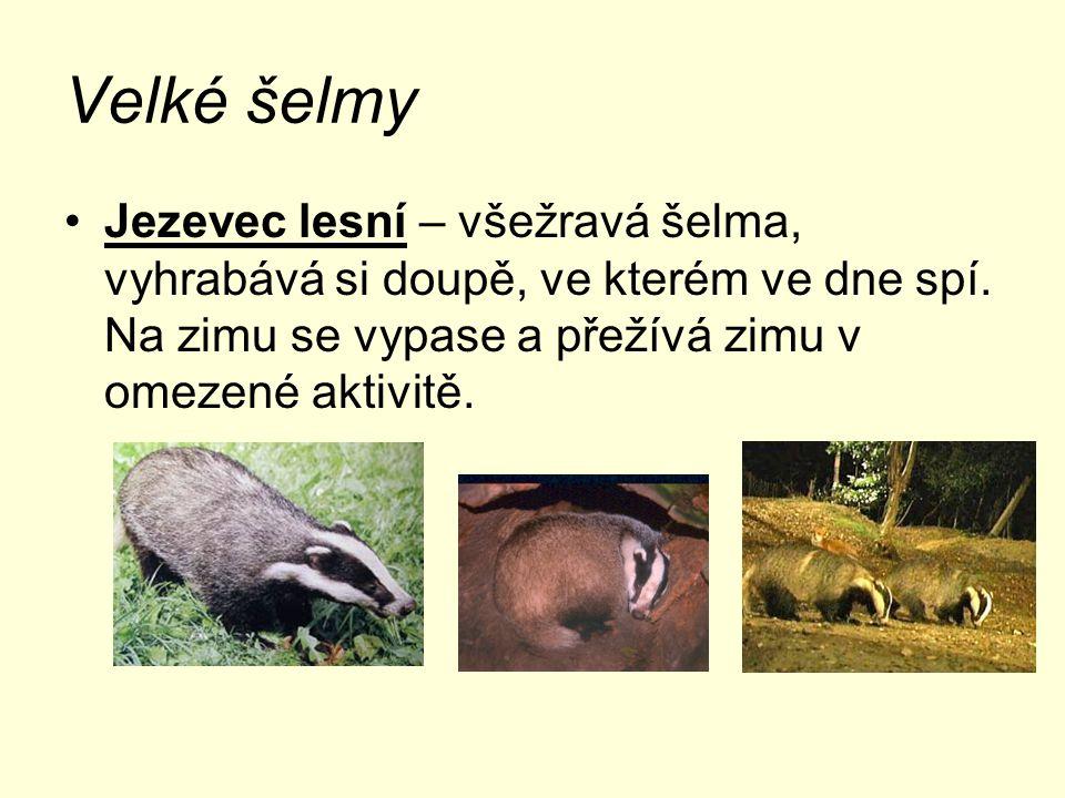 Velké šelmy Jezevec lesní – všežravá šelma, vyhrabává si doupě, ve kterém ve dne spí. Na zimu se vypase a přežívá zimu v omezené aktivitě.