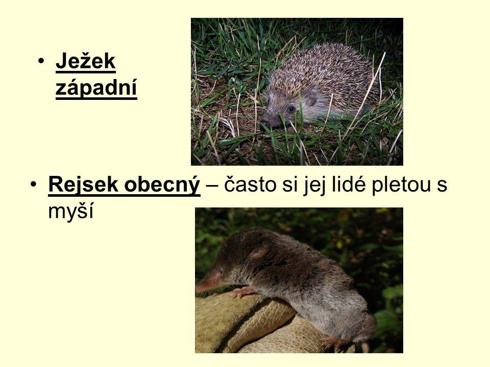 Ježek západní Rejsek obecný – často si jej lidé pletou s myší