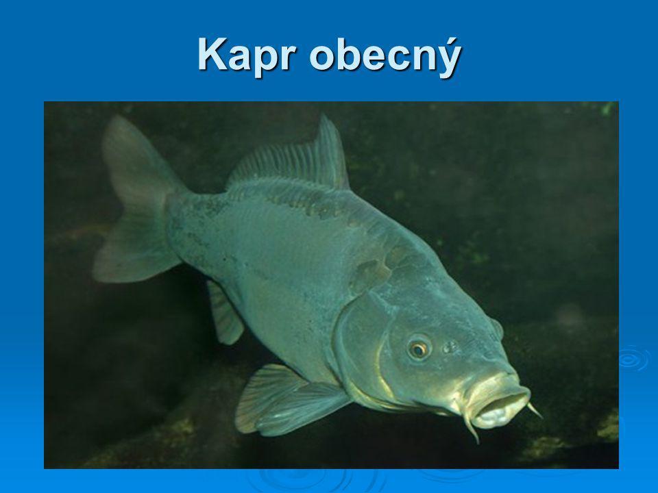 potrava: všežravec délka života: 40 let běžná velikost: 40 - 65 cm Kapr obecný je naše nejběžnější a nejznámější ryba tvořící pilíř českého rybníkářství a zároveň i druh nejčastěji vysazovaný do sportovních vod.