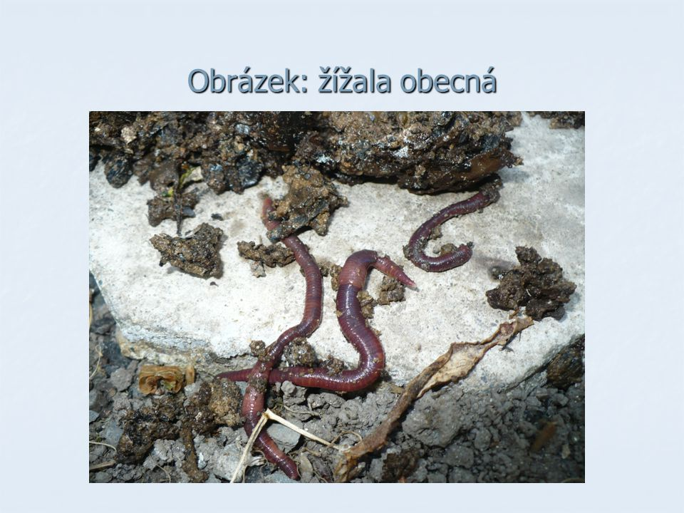 Druhy kroužkovců : MNOHOŠTĚTINATCI MNOHOŠTĚTINATCI - žijí v moři, dýchají žábrami - oddělené pohlaví, vývin nepřímý (larva) nereidka OPASKOVCI OPASKOVCI - mají opasek, který vylučuje sliz - dýchají celým povrchem těla - obojetníci, vývin přímý máloštětinatci žížala obecná, nitěnka obecná pijavice - vnější parazité (sají krev) chobotnatka rybí, pijavka lékařská