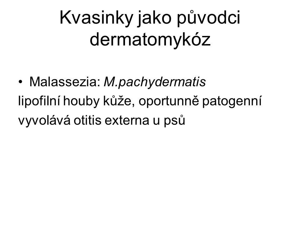 Kvasinky jako původci dermatomykóz Malassezia: M.pachydermatis lipofilní houby kůže, oportunně patogenní vyvolává otitis externa u psů