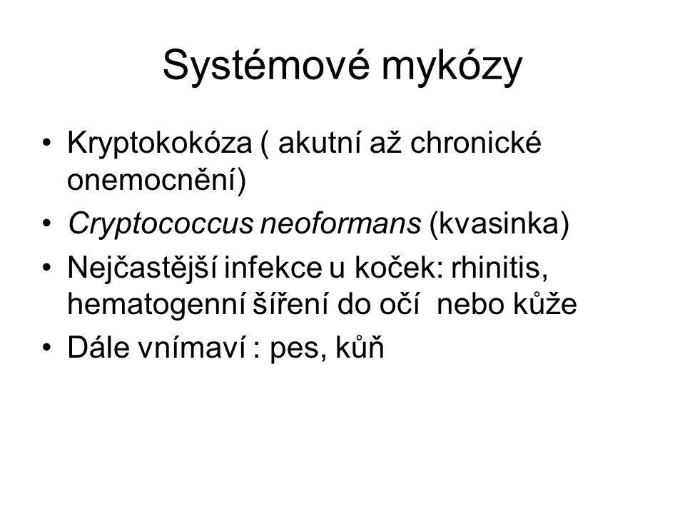 Systémové mykózy Kryptokokóza ( akutní až chronické onemocnění) Cryptococcus neoformans (kvasinka) Nejčastější infekce u koček: rhinitis, hematogenní