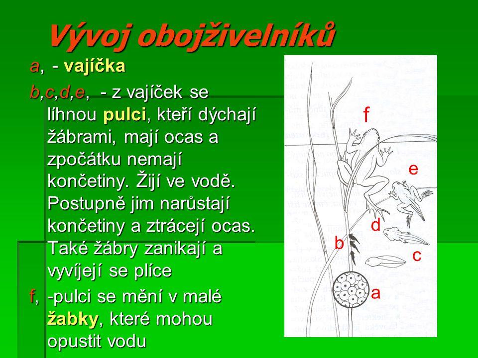 Vývoj obojživelníků a, - vajíčka b,c,d,e, - z vajíček se líhnou pulci, kteří dýchají žábrami, mají ocas a zpočátku nemají končetiny.