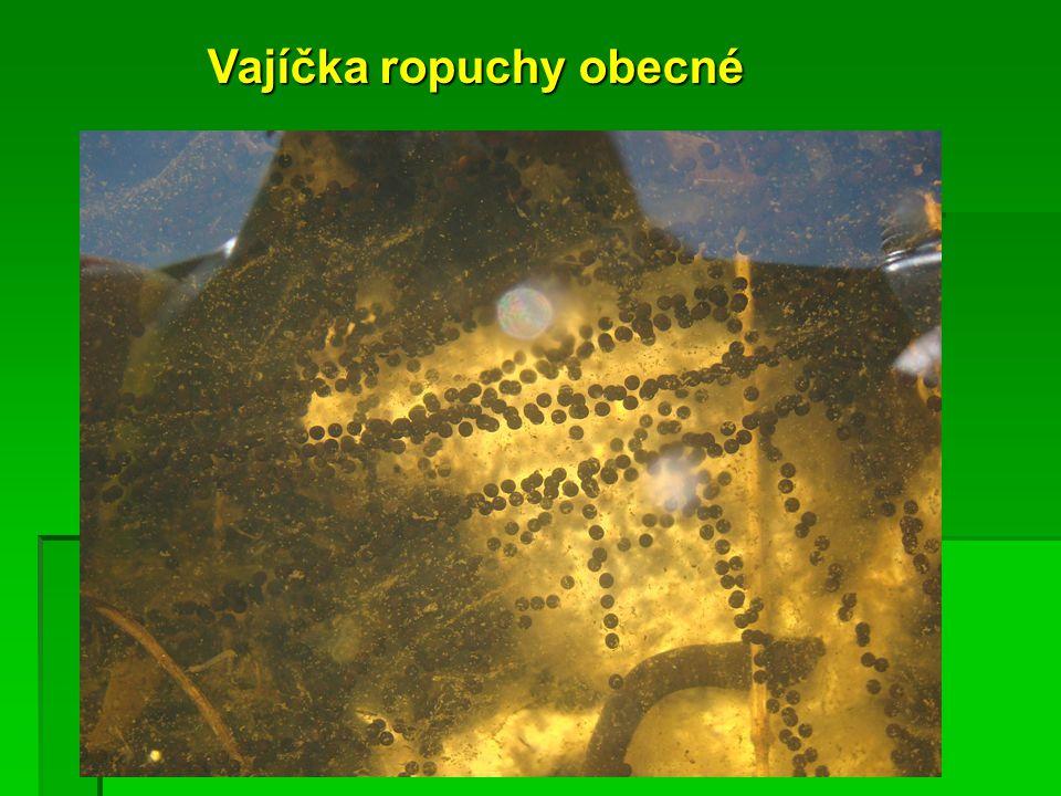 Pulcům žab vyrůstají nejprve zadní nožičky.