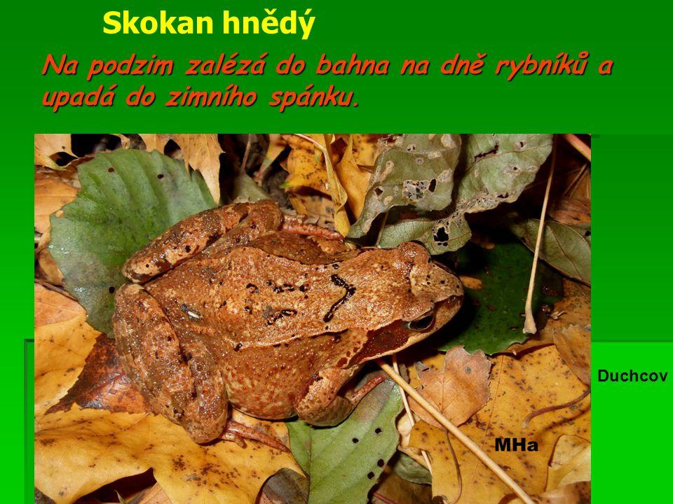 Na podzim zalézá do bahna na dně rybníků a upadá do zimního spánku. Duchcov Skokan hnědý