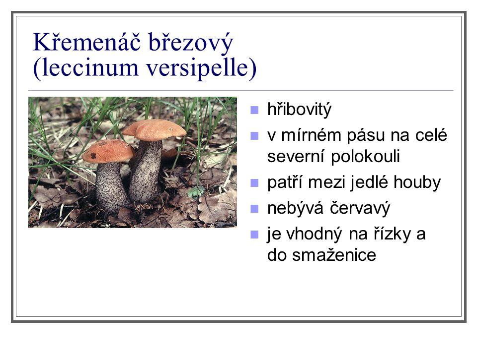 Křemenáč březový (leccinum versipelle) hřibovitý v mírném pásu na celé severní polokouli patří mezi jedlé houby nebývá červavý je vhodný na řízky a do