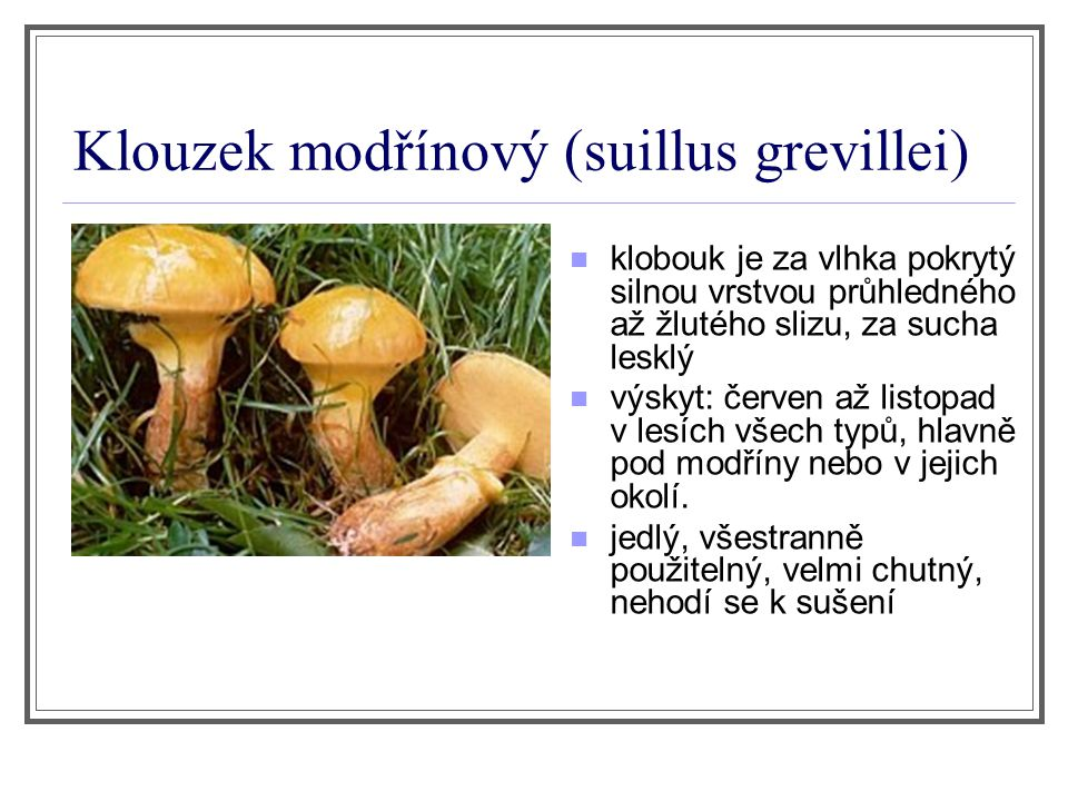 Klouzek modřínový (suillus grevillei) klobouk je za vlhka pokrytý silnou vrstvou průhledného až žlutého slizu, za sucha lesklý výskyt: červen až listo
