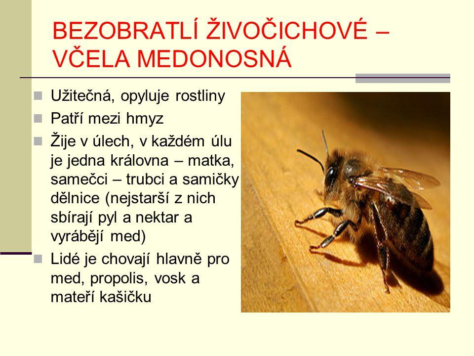 BEZOBRATLÍ ŽIVOČICHOVÉ – VČELA MEDONOSNÁ Užitečná, opyluje rostliny Patří mezi hmyz Žije v úlech, v každém úlu je jedna královna – matka, samečci – tr