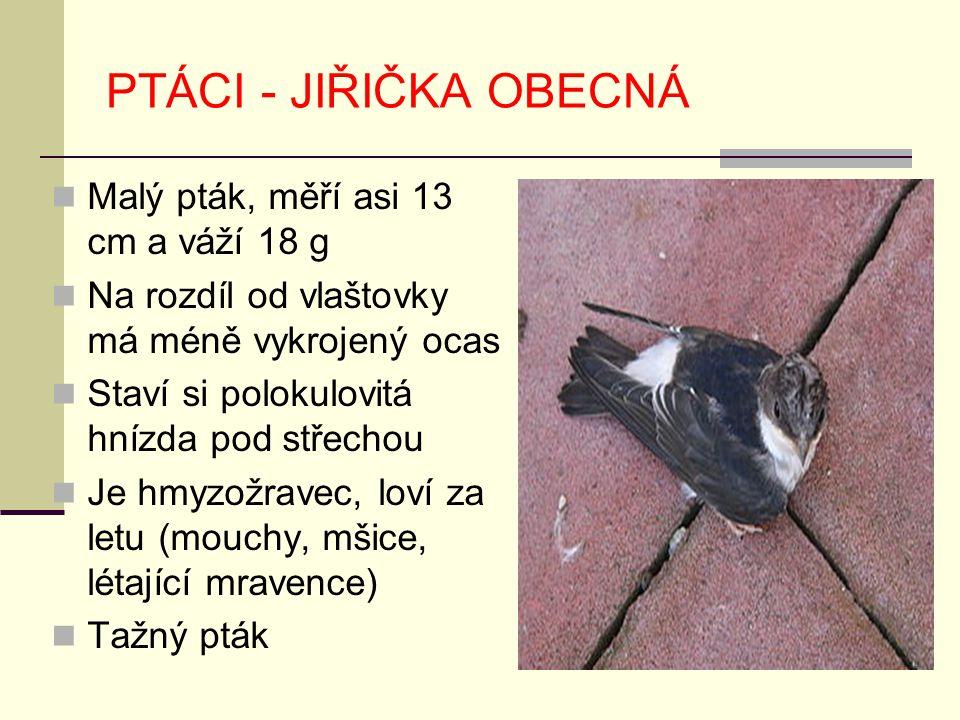 PTÁCI - JIŘIČKA OBECNÁ Malý pták, měří asi 13 cm a váží 18 g Na rozdíl od vlaštovky má méně vykrojený ocas Staví si polokulovitá hnízda pod střechou J