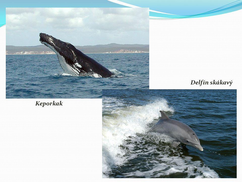 Keporkak Delfín skákavý