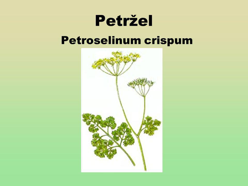 Charakteristika Pochází z východního středomoří Je dvouletá až vytrvalá bylina.