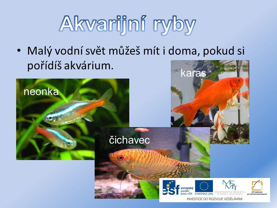 Malý vodní svět můžeš mít i doma, pokud si pořídíš akvárium. neonka karas čichavec