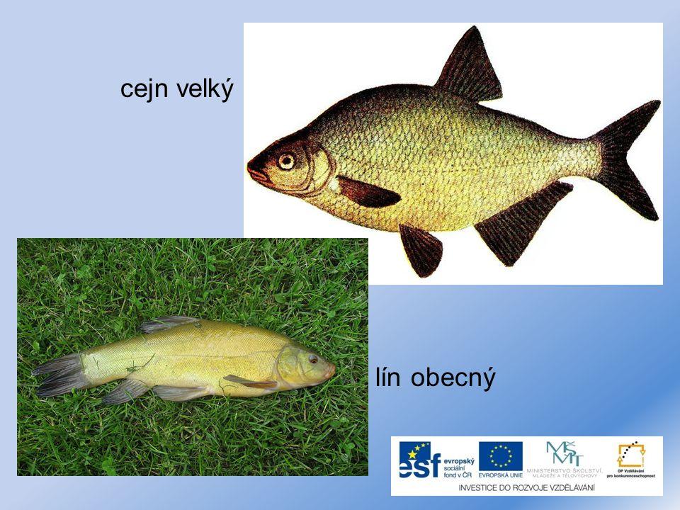 Dravé masožravé ryby. sumec velký štika obecná okoun říční