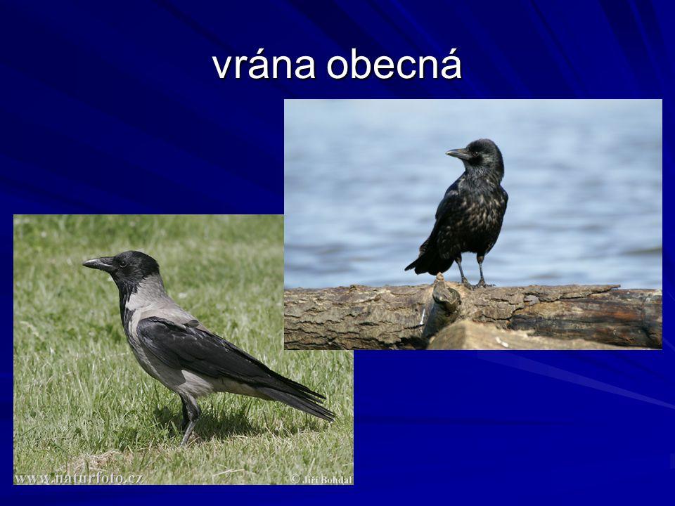 vrána obecná