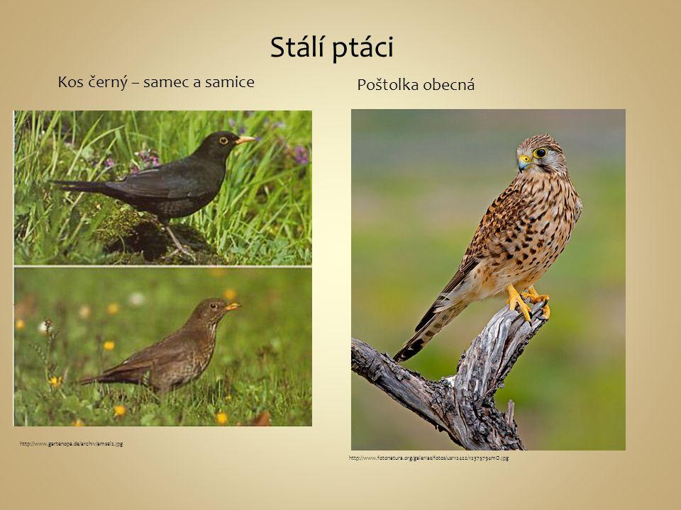 Stálí ptáci http://www.gartenopa.de/archiv/amsel2.jpg Kos černý – samec a samice http://www.fotonatura.org/galerias/fotos/usr12422/12375794mO.jpg Pošt