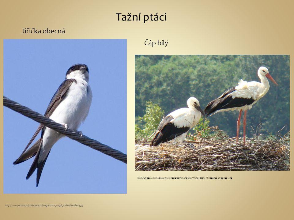 Tažní ptáci http://www.j-ecards.de/bilder/ecards/jungsystems_vogel_mehlschwalbe1.jpg Jiřička obecná Čáp bílý http://upload.wikimedia.org/wikipedia/com