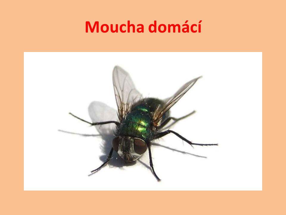 Snad nejznámější druh hmyzu.Samice klade vajíčka na páchnoucí látky ( výkaly, maso, sýry ).