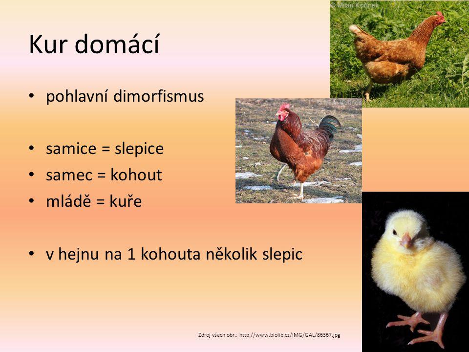 Kur domácí pohlavní dimorfismus samice = slepice samec = kohout mládě = kuře v hejnu na 1 kohouta několik slepic Zdroj všech obr.: http://www.biolib.cz/IMG/GAL/86367.jpg