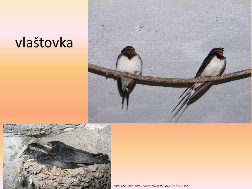 jiřička Zdroj obou obr.: http://www.biolib.cz/IMG/GAL/76932.jpg