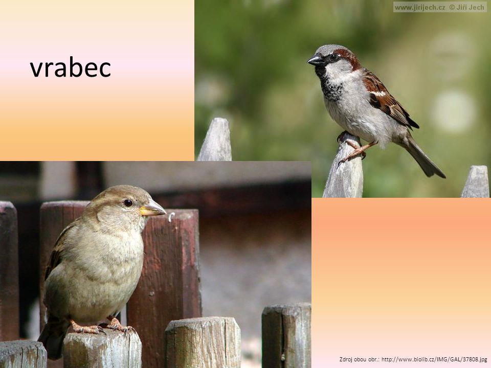 vrabec Zdroj obou obr.: http://www.biolib.cz/IMG/GAL/37808.jpg