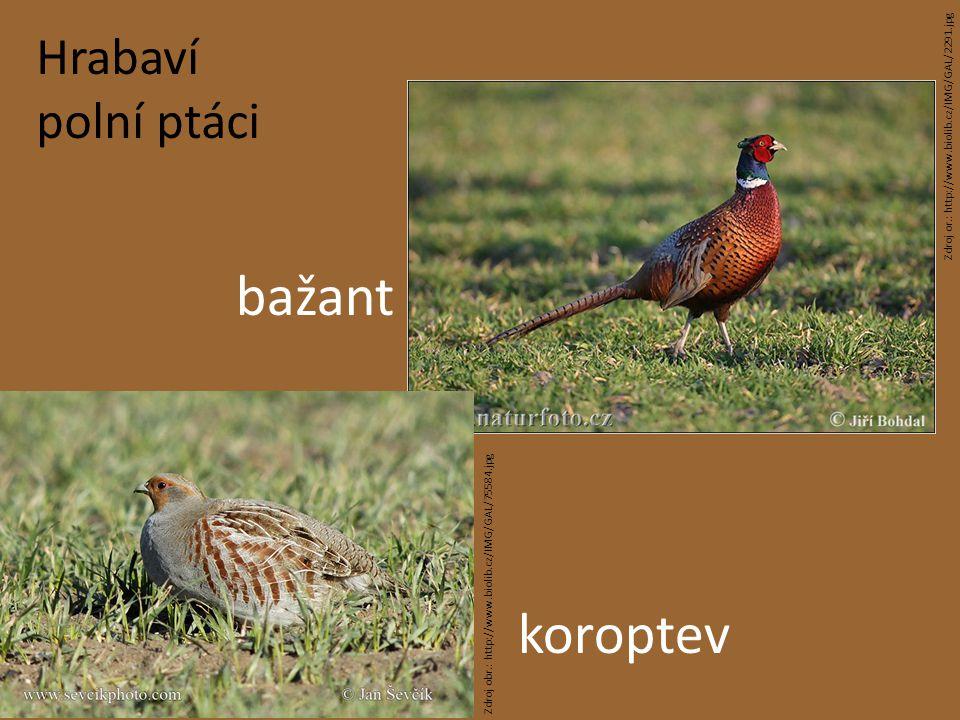 Hrabaví polní ptáci bažant koroptev Zdroj or.: http://www.biolib.cz/IMG/GAL/2291.jpg Zdroj obr.: http://www.biolib.cz/IMG/GAL/75584.jpg