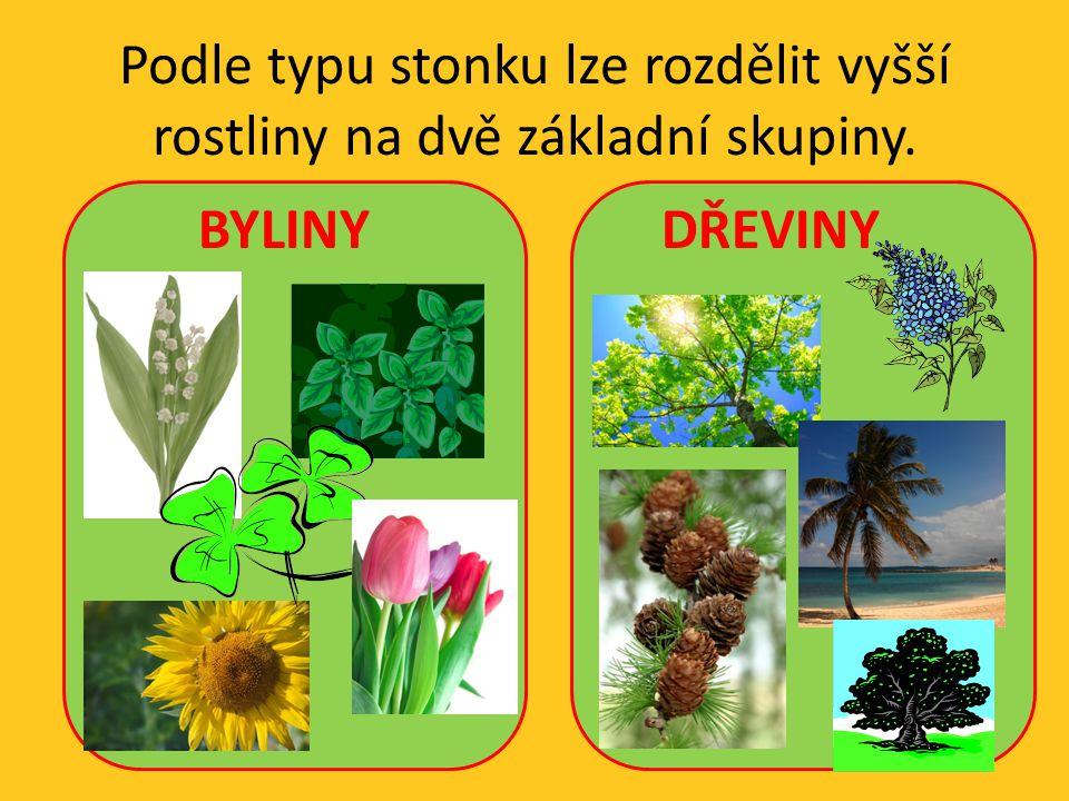 BYLINY rostliny s dužnatým stonkem stonek je měkký, nedřevnatí na povrchu je pokožka, uvnitř dužnina a v ní rozptýleny cévní svazky tři základní typy bylinného stonku – lodyha, stéblo, stvol zvláštní případ bylinného stonku v zemi = oddenek
