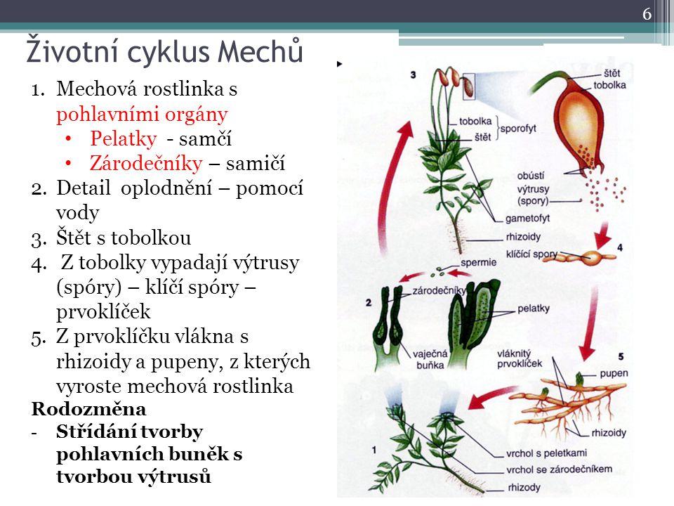 Životní cyklus Mechů 6 1.Mechová rostlinka s pohlavními orgány Pelatky - samčí Zárodečníky – samičí 2.Detail oplodnění – pomocí vody 3.Štět s tobolkou