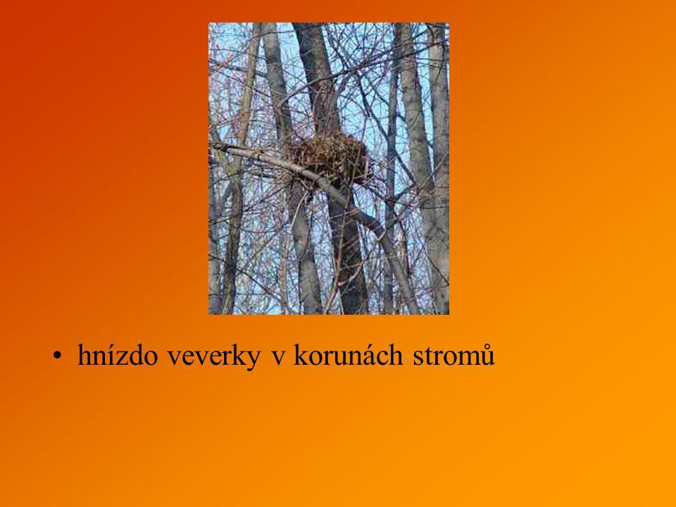 hnízdo veverky v korunách stromů