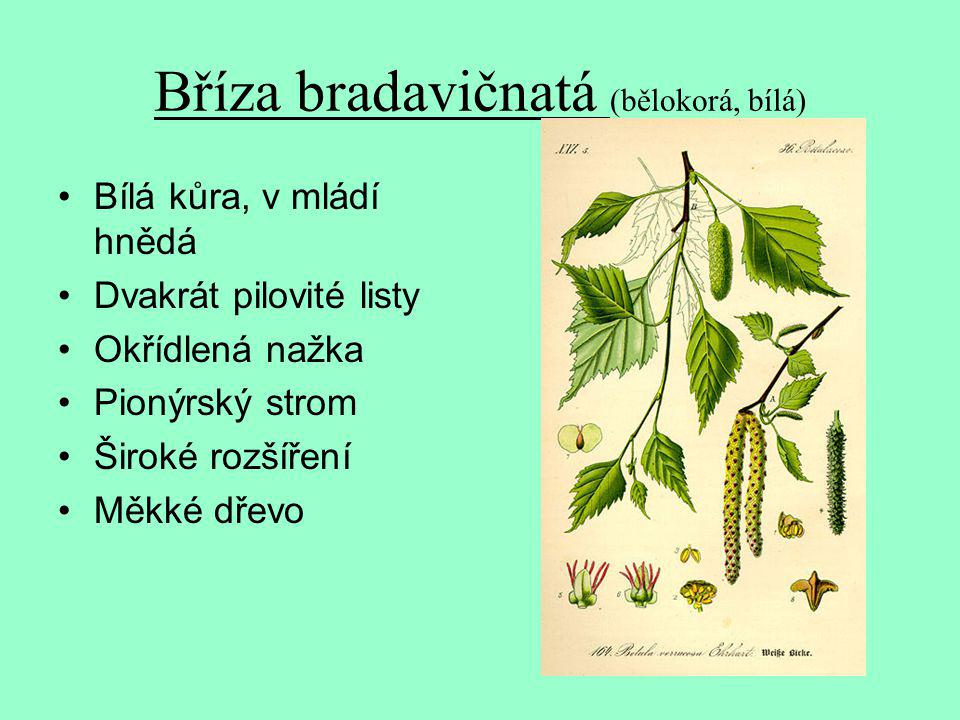 Bříza bradavičnatá (bělokorá, bílá) Bílá kůra, v mládí hnědá Dvakrát pilovité listy Okřídlená nažka Pionýrský strom Široké rozšíření Měkké dřevo