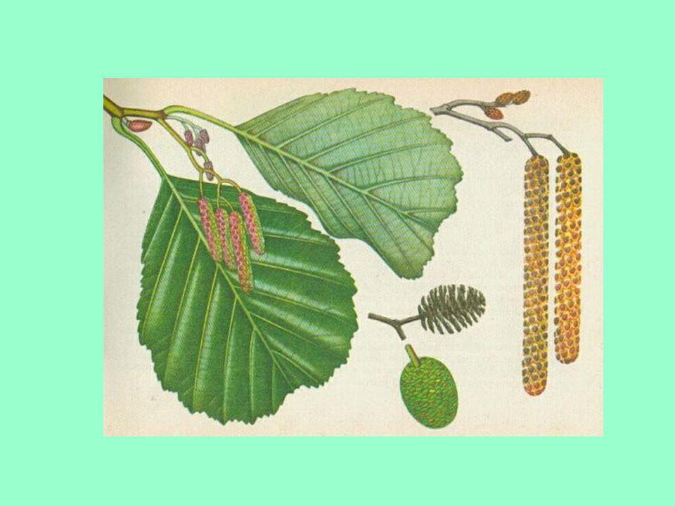 Olše lepkavá Kulaté vykrojené listy Strom nebo keř ♂ jehnědy ♀ šištice Nažky rozšiřovány vodou Na vlhkých místech Červenohnědé dřevo