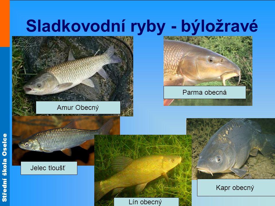 Střední škola Oselce Sladkovodní ryby - býložravé Amur Obecný Parma obecná Jelec tloušť Kapr obecný Lín obecný