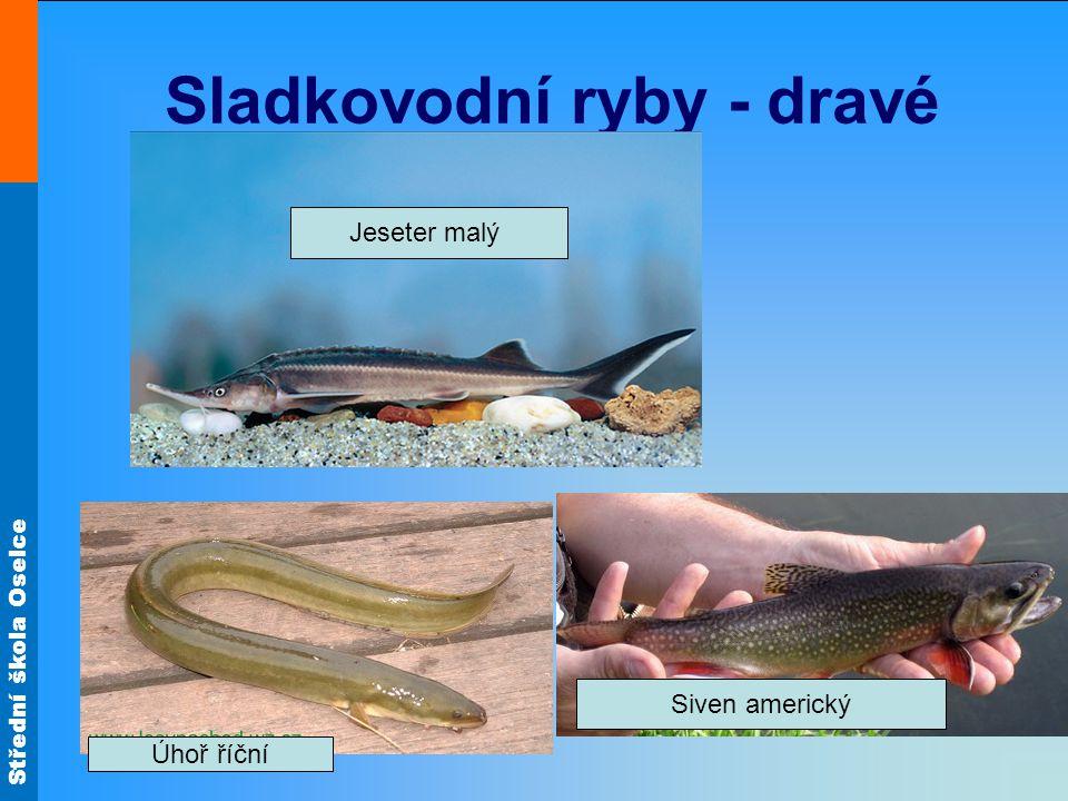 Střední škola Oselce Sladkovodní ryby - dravé Siven americký Úhoř říční Jeseter malý