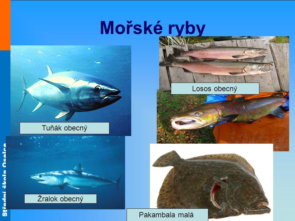 Střední škola Oselce Mořské ryby Tuňák obecný Žralok obecný Pakambala malá Losos obecný