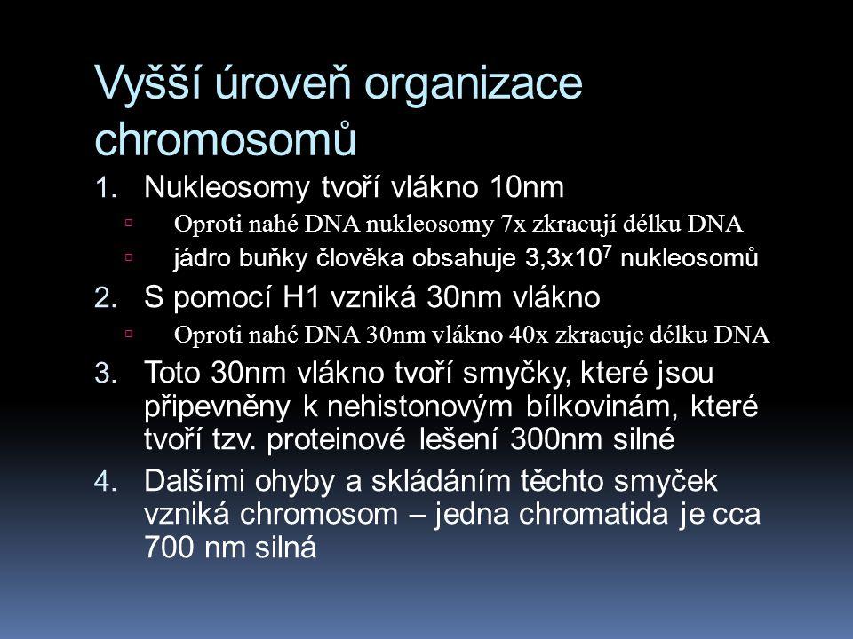Vyšší úroveň organizace chromosomů 1. Nukleosomy tvoří vlákno 10nm  Oproti nahé DNA nukleosomy 7x zkracují délku DNA  jádro buňky člověka obsahuje 3