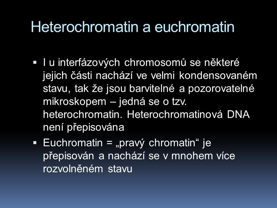 Heterochromatin a euchromatin  I u interfázových chromosomů se některé jejich části nachází ve velmi kondensovaném stavu, tak že jsou barvitelné a po