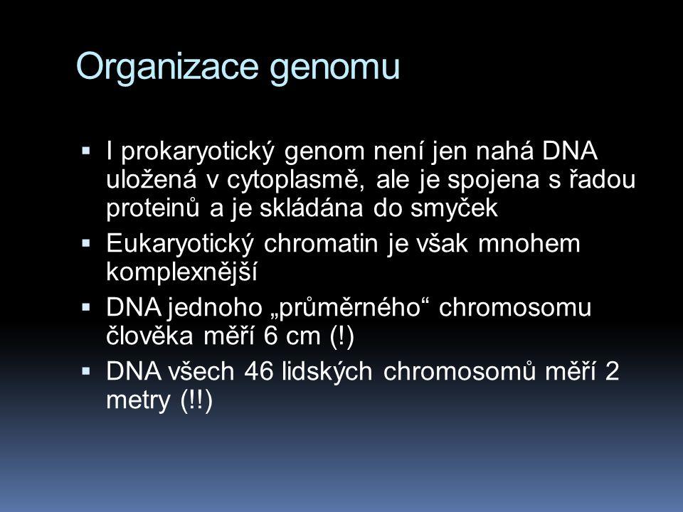Organizace genomu  I prokaryotický genom není jen nahá DNA uložená v cytoplasmě, ale je spojena s řadou proteinů a je skládána do smyček  Eukaryotic