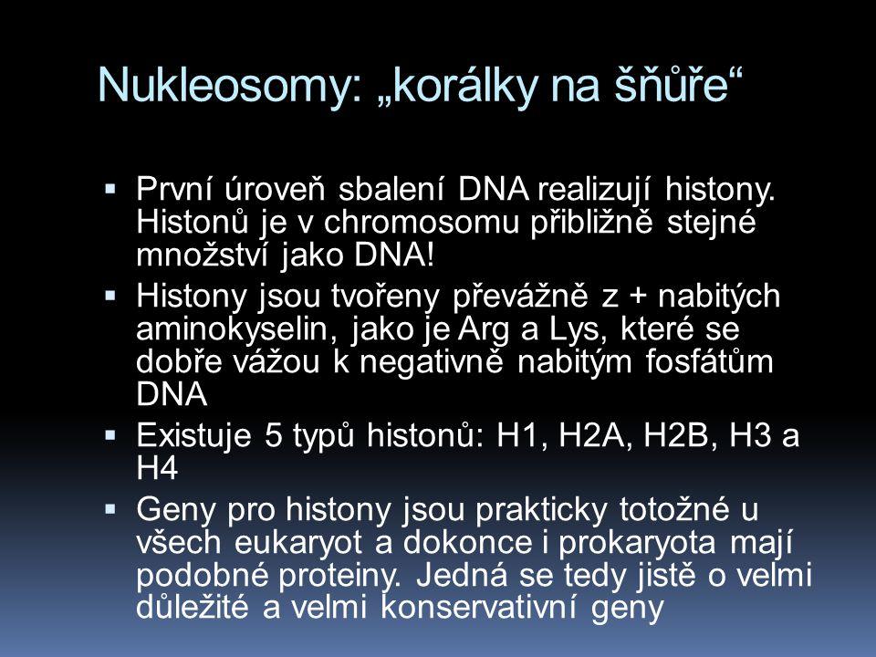 """Nukleosomy: """"korálky na šňůře""""  První úroveň sbalení DNA realizují histony. Histonů je v chromosomu přibližně stejné množství jako DNA!  Histony jso"""