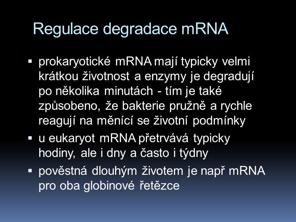 Regulace degradace mRNA  prokaryotické mRNA mají typicky velmi krátkou životnost a enzymy je degradují po několika minutách - tím je také způsobeno,