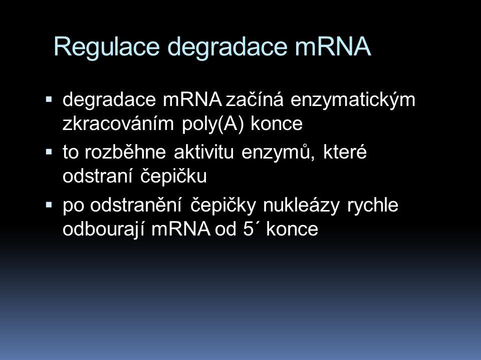 Regulace degradace mRNA  degradace mRNA začíná enzymatickým zkracováním poly(A) konce  to rozběhne aktivitu enzymů, které odstraní čepičku  po odst