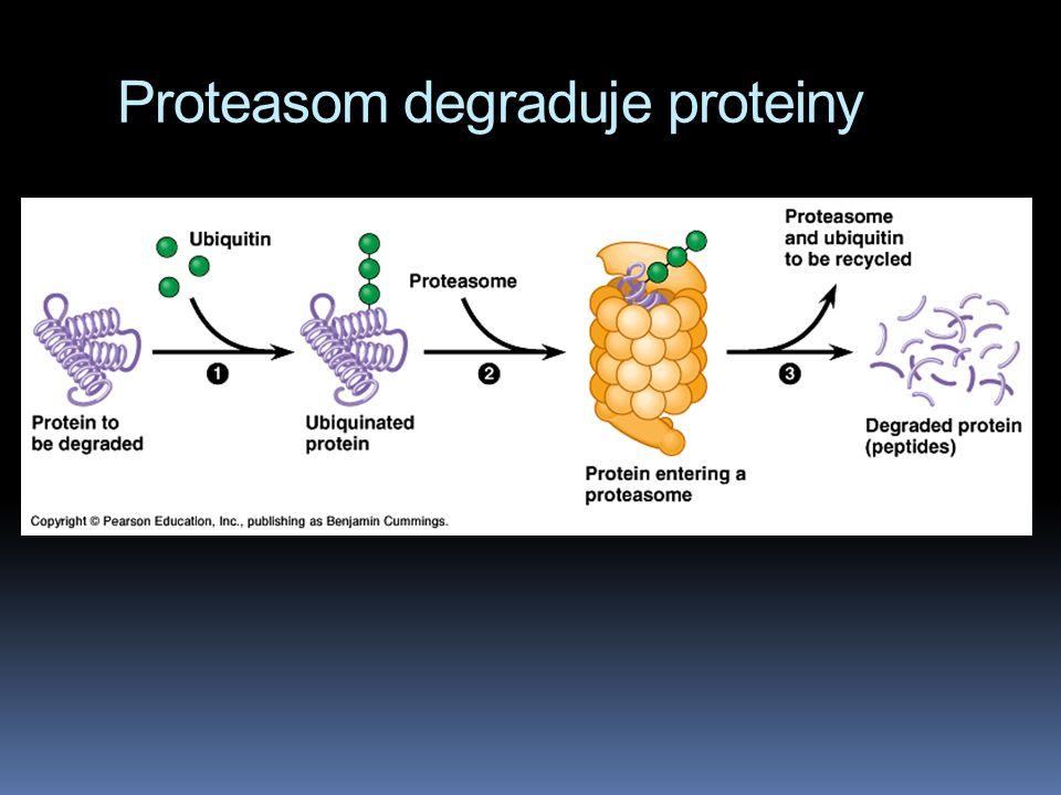 Proteasom degraduje proteiny