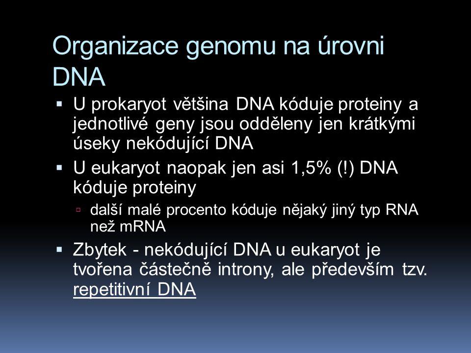 Organizace genomu na úrovni DNA  U prokaryot většina DNA kóduje proteiny a jednotlivé geny jsou odděleny jen krátkými úseky nekódující DNA  U eukary