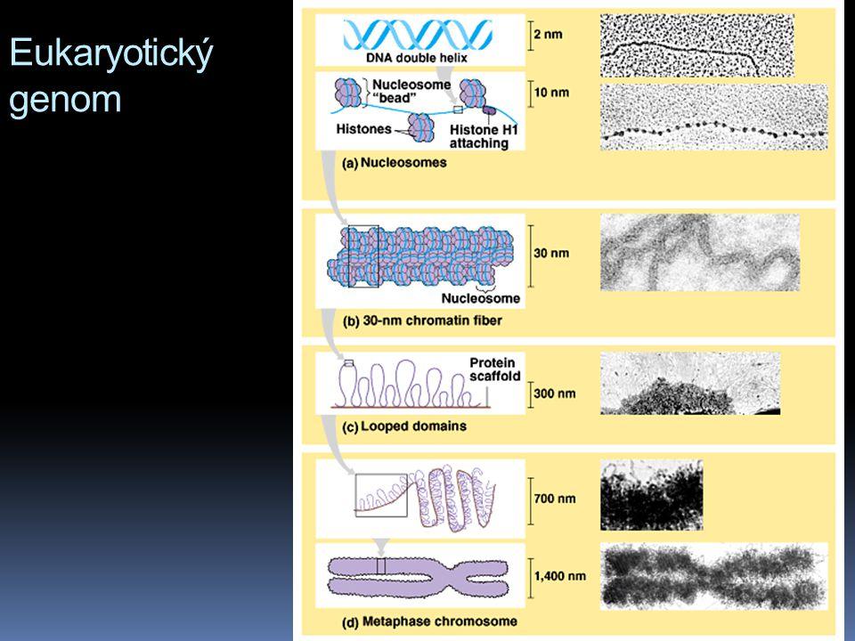 Eukaryotický genom