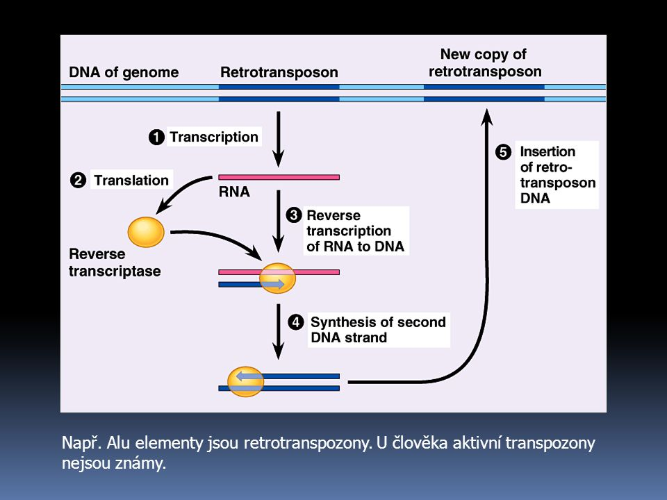 Např. Alu elementy jsou retrotranspozony. U člověka aktivní transpozony nejsou známy.