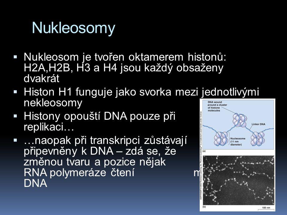 Nukleosomy  Nukleosom je tvořen oktamerem histonů: H2A,H2B, H3 a H4 jsou každý obsaženy dvakrát  Histon H1 funguje jako svorka mezi jednotlivými nek