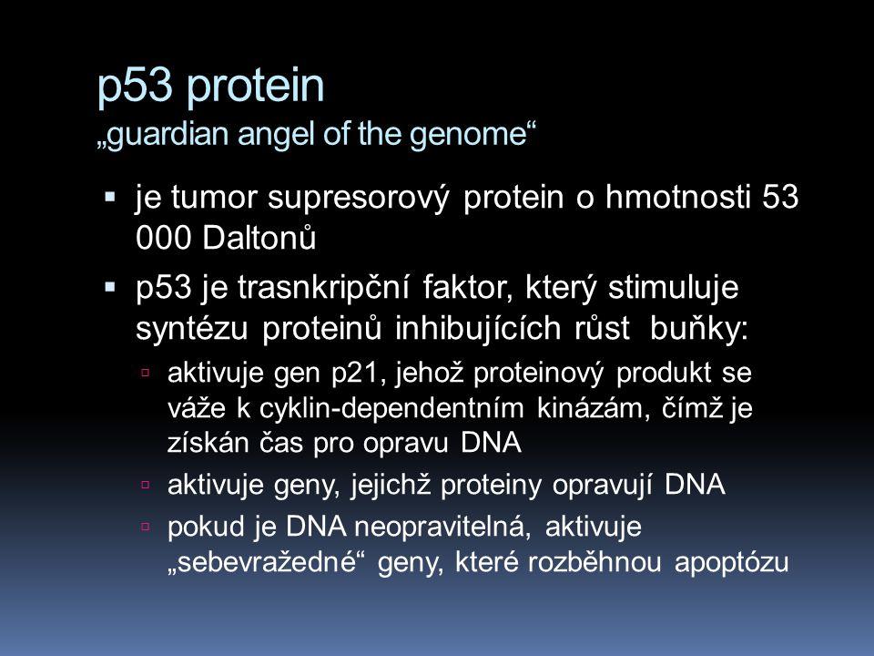 """p53 protein """"guardian angel of the genome""""  je tumor supresorový protein o hmotnosti 53 000 Daltonů  p53 je trasnkripční faktor, který stimuluje syn"""