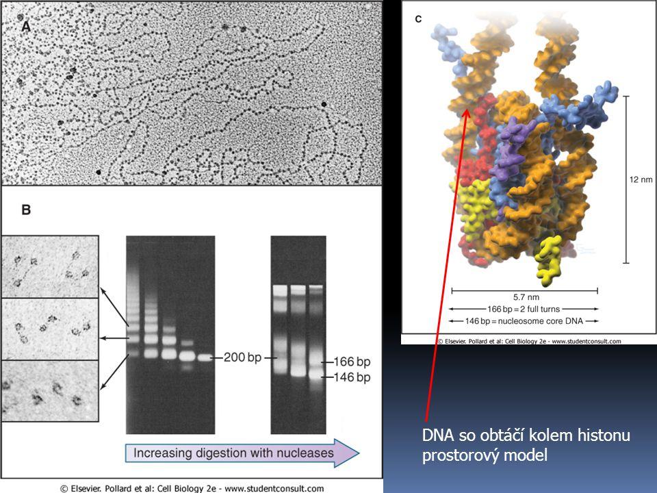 DNA so obtáčí kolem histonu prostorový model