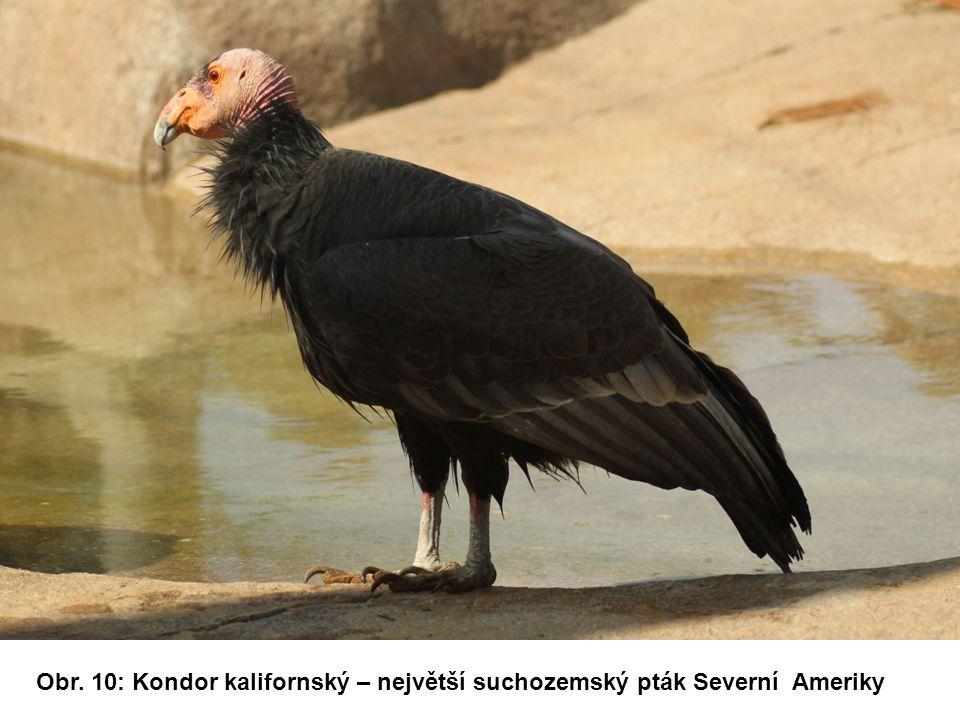 Obr. 10: Kondor kalifornský – největší suchozemský pták Severní Ameriky